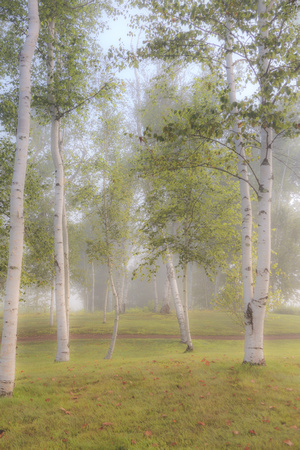 Ekwanok Birches